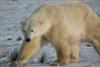 Polar Bears Gallery